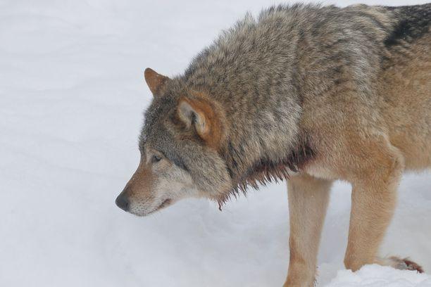 Suomen riistakeskus on antanut joulukuussa kaksi poikkeuslupaa kokonaisten susilaumojen tappamiseksi. Kuvan susi on kuvattu Ranuan eläinpuistossa.