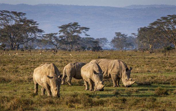 Etelänleveähuulisarvikuonoja Lake Nakurun luonnonpuistossa Keniassa. Laji kävi lähellä sukupuuttoa 1800-luvun lopulla, mutta nykyään niitä on WWF:n mukaan noin 20 000.