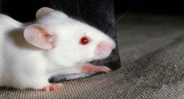 Kuvan hiiri ei liity tiedemiesten kokeeseen.