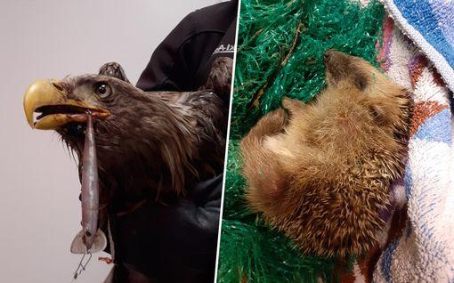 Karut kuvat paljastavat: roskien jättäminen luontoon aiheuttaa eläimelle hengenvaaran
