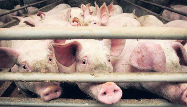 Voiko joku omia parhaat sianjalostuksen geenit?