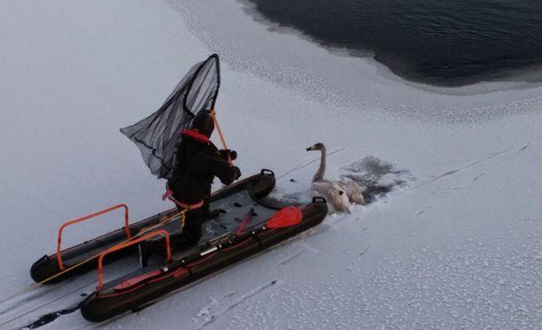 Pintapelastaja sai autettua joutsenen Pielisen jäältä.