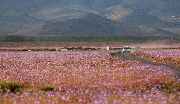 Atacamassa on tänä vuonna satanut moninkertaisesti normaaliin nähden.