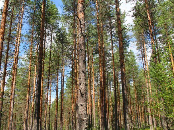 Metsät sitovat itseensä hiiltä.
