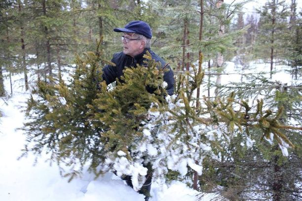 Niilo Keränen jaksoi vielä hakea joulukuusen joulun alla, vaikka voimattomuutta tunsikin.