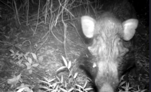 Tutkijat pelkäsivät, että käsnäsikoja ei enää elä vapaana luonnossa, mutta riistakameran avulla löydettiin pieni populaatio.