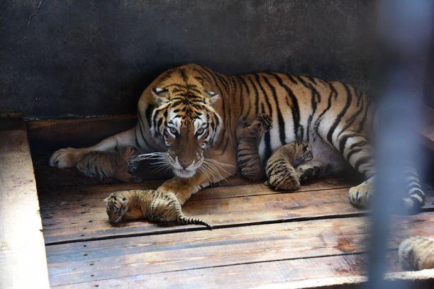 Tiikeripuisto sijaitsee Koillis-Kiinassa Heilongjiangin maakunnassa.