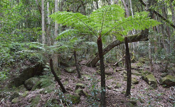 Michelle Pittman ja hänen 9-vuotias poikansa olivat kymmenen päivän ajan eksyksissä metsässä Australian Uuden Etelä-Walesin osavaltiossa. Kuvan metsä sijaitsee Blue Mountains -vuorijonon tietämillä Uudessa Etelä-Walesissä.