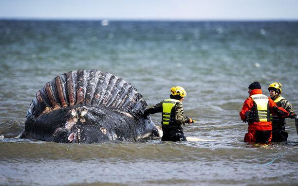 Viranomaiset tutkivat rantaan huuhtoutunutta valaan ruhoa Öölannissa toissa viikolla.