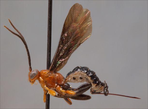 Kuvan mustasiipinen Zonopimpla-loispistiäinen on tieteelle tuntematon eli vielä ilman nimeä. Laji löytyi Länsi-Amazonian alankosademetsäalueelta ja odottaa tieteellistä kuvausta Turun yliopiston biodiversiteettiyksikön tutkimuskokoelmassa.