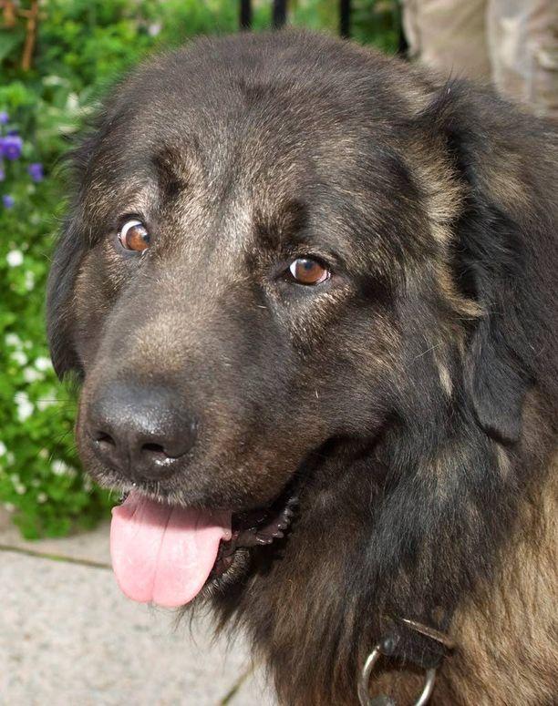 Irrallaan ollut kaukasianpaimenkoira puri poliisia käteen Kontiolahdella lauantai-iltana. Kuvan koira ei liity tapaukseen.