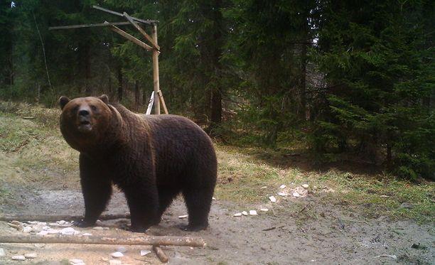 Karhu hyökkäsi marjastajan päälle Sodankylässä. Kuvan karhu ei liity tapaukseen.