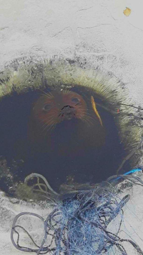 Norppa tarkkaili kalamiesten puuhia avannosta käsin.