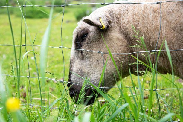 25 lammasta on kuollut tai jouduttu lopettamaan susihyökkäyksen jälkeen. Arkistokuva ei liity tapaukseen.