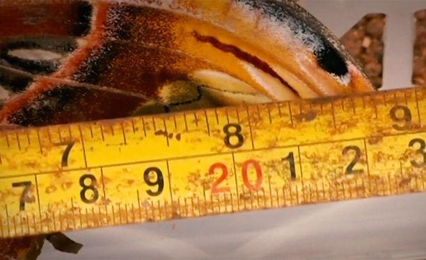 Perhosella on mittaa 23 senttiä siiven kärjestä toiseen.