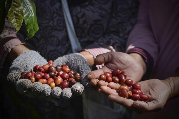 Valtaosa Suomessa kulutettavasta kahvista valmistetaan ilmasto-olosuhteille herkästä arabica-lajikkeesta.