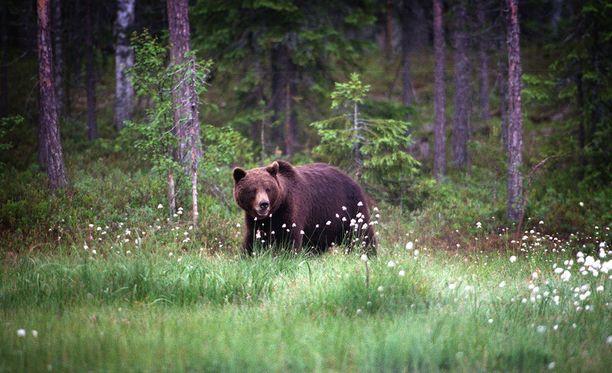 Lain mukaan karhun metsästyksessä ei saa käyttää ravintohoukutinta. Kuvituskuva.