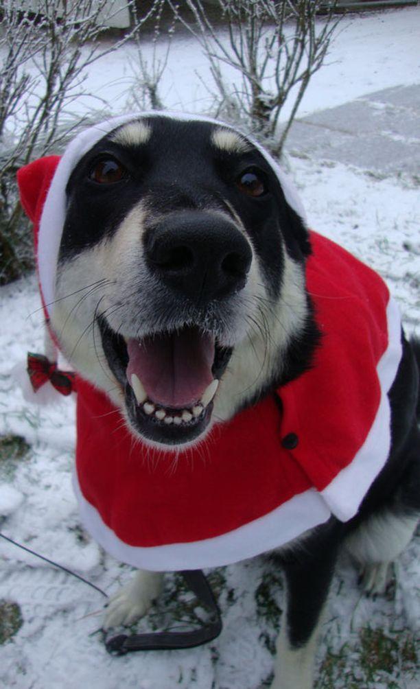 5. Tessa-koira odottaa joulua