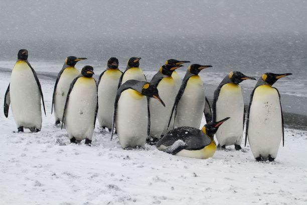 Kuningaspingviinit ovat tunnetusti herkkiä lentokonemetelille.