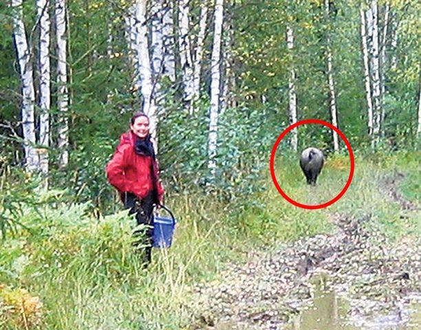Marjastamassa ollut Outi Maijala väisti vasemmalle ja villisika jatkoi matkaansa eteenpäin.