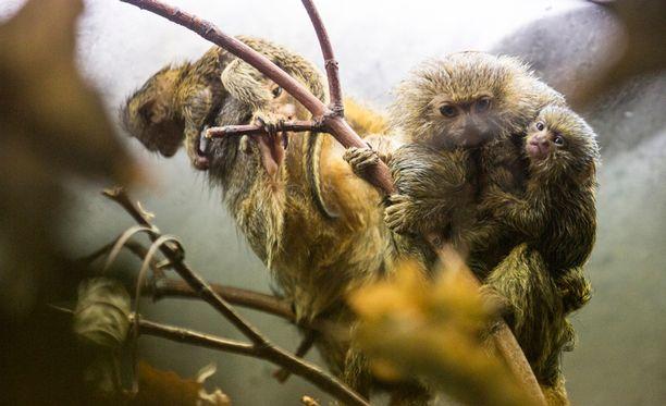 Pikkumarmosetteja elää Amazon-joen yläjuoksulla, joenvarsien tulvametsiköissä.