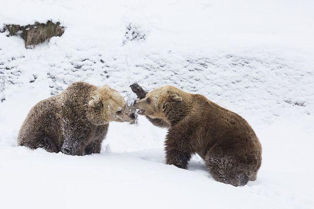 Korkeasaaren eläintarhan karhut heräsivät talviuniltaan poikkeuksellisesti jo helmikuun alussa.