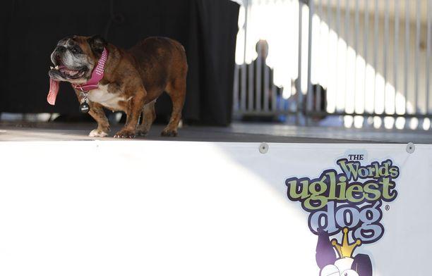 Zsa Zsa sai ylpeänä kantaa maailman rumimman koiran tittelin muutaman viikon.