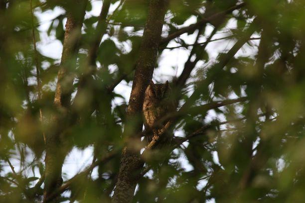Kyläpöllönen aiheutti hysteriaa lintuharrastajien keskuudessa.