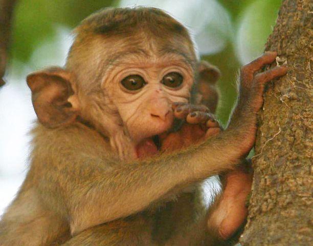 Matkiminen auttaa yhteistyössä apinan kanssa.
