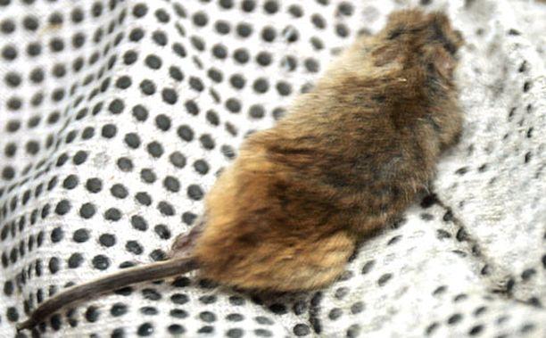 Kalkkunafileiden joukosta löytyi hiiri. (Kuvan hiiri ei liity juttuun.)