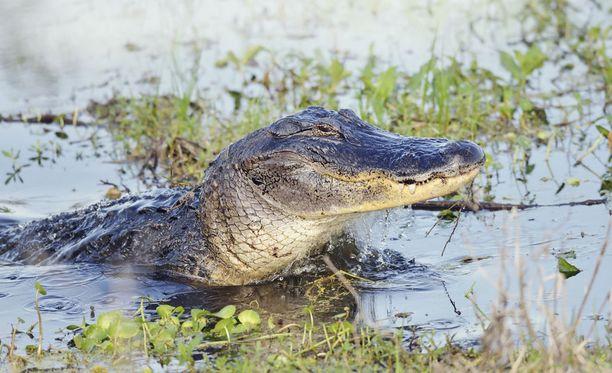 Floridan suoalueilla liikkuu paljon alligaattoreita. Kuvituskuva.