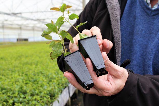 Taimet kasvavat taimitarhoissa noin 25 sentin korkuisiksi, jonka jälkeen ne istutetaan plantaaseille.