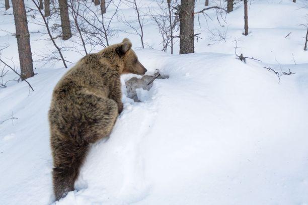 Tästä pesästä karhut lähtivät liikkeelle 10. huhtikuuta. Tällä kertaa karhut eivät viihtyneet pesän lähettyvillä kovin kauaa.