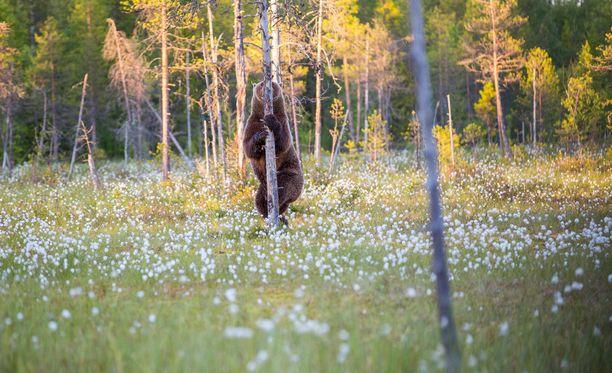 Ville Pääkkönen epäilee. että naaraskarhu näki hänet ja yritti piiloutua puun taakse. Yritys epäonnistui täysin.