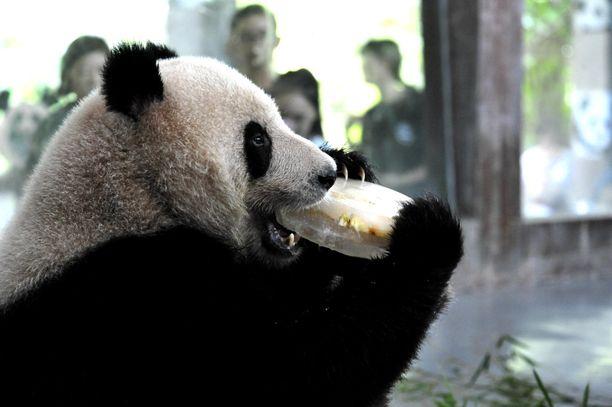 Panda vilvoitteli nakertamalla jäälohkaretta ilamstoidussa aitauksessaan Shanghain eläintarhassa.