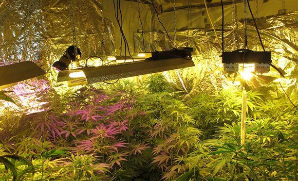 Usein rappukäytävään leviävä kannabiksen tuoksu herättää naapurien epäilyt huumeviljelmästä (kuvan viljelmä ei liity perjantain iskuun).