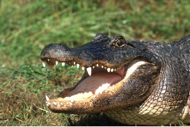 Viime vuonna alligaattori aiheutti tiettävästi ainakin kahden ihmisen kuoleman Yhdysvalloissa.