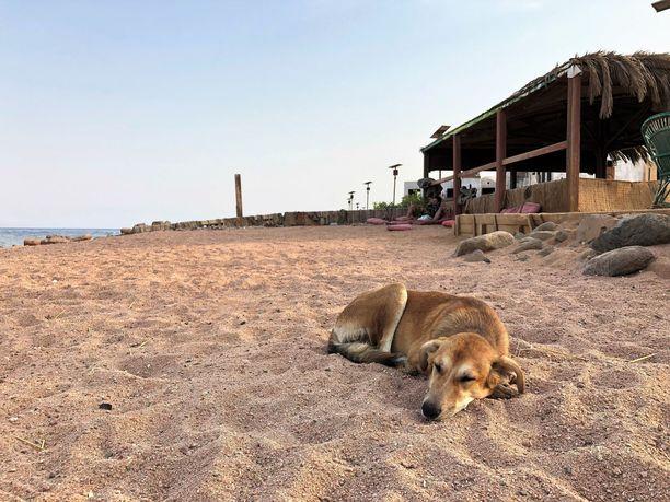 Tämä koira nukkui rannalla Dahabissa syyskuun alkupuolella. Osa irrallaan juoksevista koirista ei ole kodittomia, sillä jotkut paikalliset pitävät koiriaan vapaana sillä aikaa, kun he itse käyvät töissä.