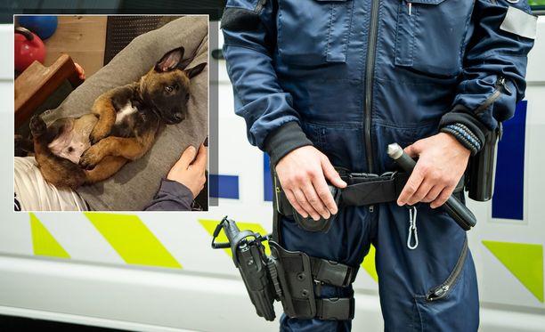 Poliisikoira Tino aloittaa varsinaiset työtehtävänsä ensi viikolla tutustuttuaan ensin uuteen ohjaajaansa.