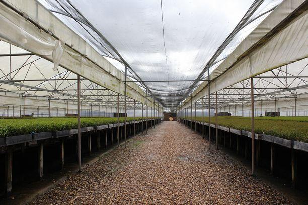 Uruguayn taimitarhoilla kasvaa 35 miljoonaa eukalyptuspuun taimea valmiina istutettaviksi UPM:n plantaaseille.