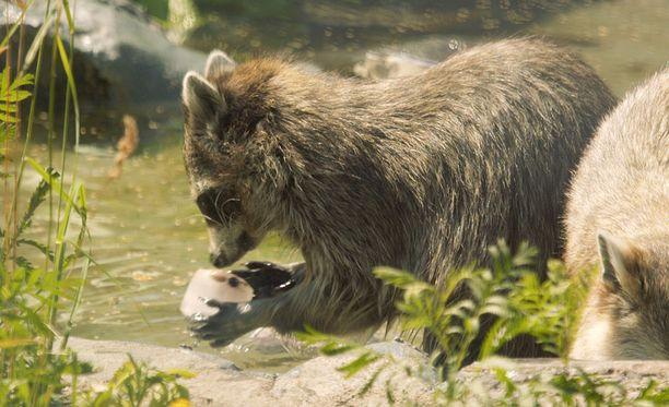 Pesukarhuille kelpaa helteellä viilennys vedessä ja jäiset herkut.