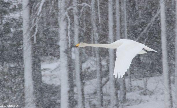 Suomeen jo saapuneet joutsenet eivät kylmää hätkähdä, vaan jäävät sitkeästi haastavampiinkin oloihin.