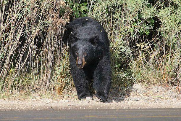 Yellowstonessa voi pusikosta rymistellä esiin vaikka mustakarhu.