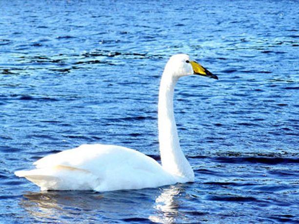 Joutsen uiskenteli kevätauringossa Seinäjoen Kyrkösjärvellä.