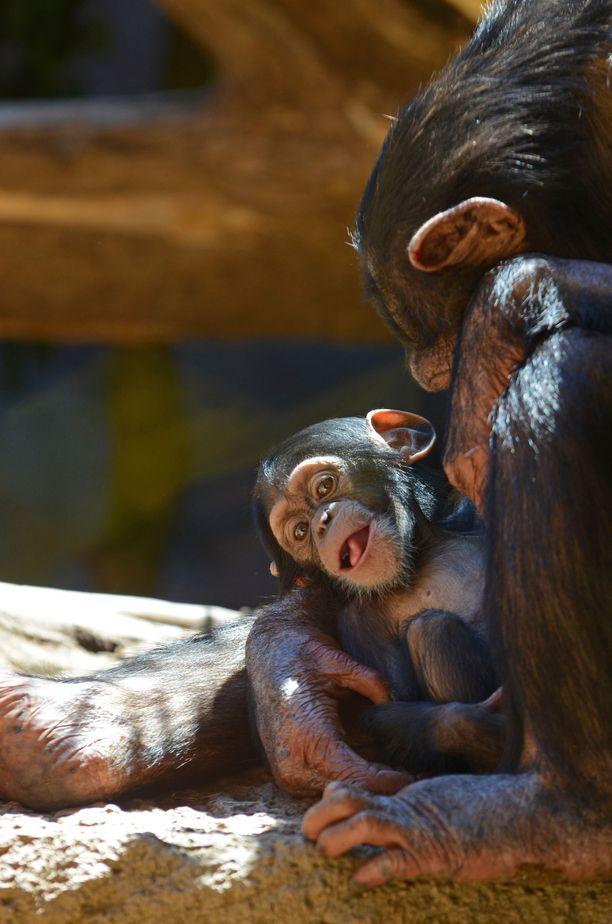 Simpanssit ovat erittäin uhanalaisia. Siksi monet eläinsuojelujärjestöt toimivat aktiivisesti simpansseja suojellakseen.