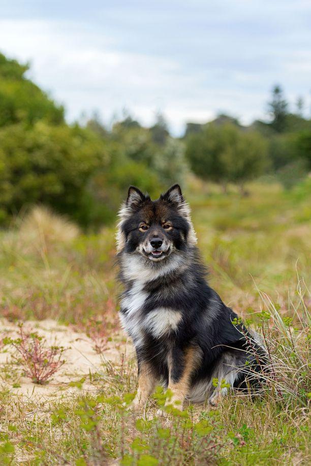 Suomenlapinkoira nousi viime vuonna toiseksi suosituimmaksi koiraroduksemme. Se saa korkeat tulokset keskittymisessä ja tasaisuudessa ja myös koirasosiaalisuudessa. Energisyydessä suomenlapinkoira saa hyvin matalat tulokset ja suht matalat myös määrätietoisuudessa sekä dominoivuudessa.