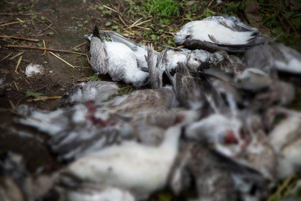 Hoitajat löysivät kaikki linnunpoikaset kuolleina katetusta ulkotarhasta aamulla seitsemän aikaan.
