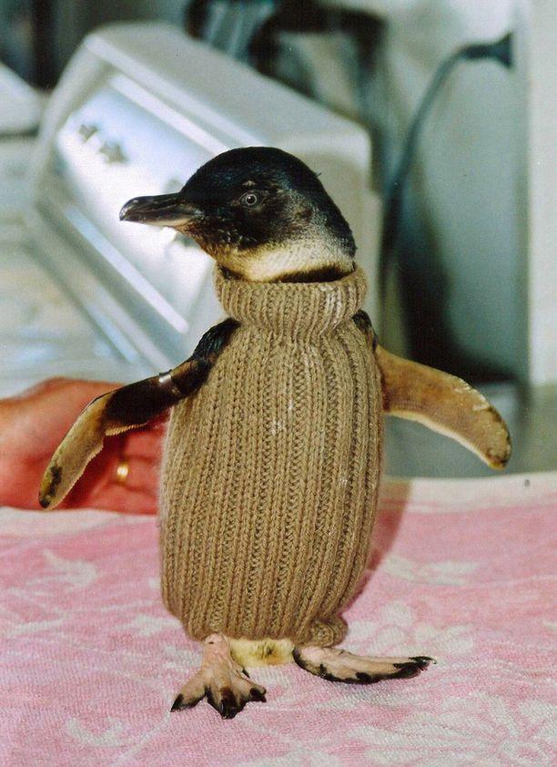 Villapaitojen on todettu olevan oiva apu öljystä kärsivien pingviinien hoitoon. Arkistokuva.