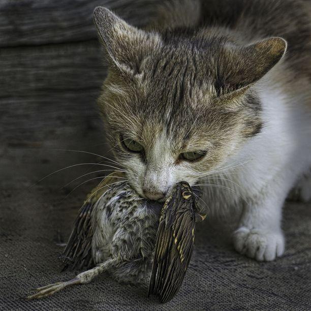Kissa on yksi maailman haitallisimmista vieraslajeista, kun se luontoon pääsee.
