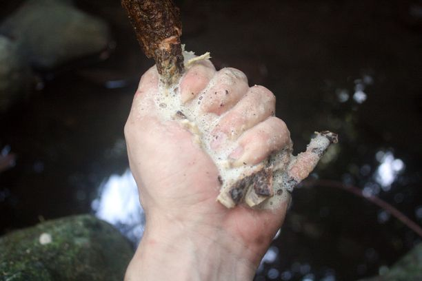 Gogu-köynnöksestä voi tehdä luonnon saippuaa, kun sen murskaa kivellä ja kostuttaa.